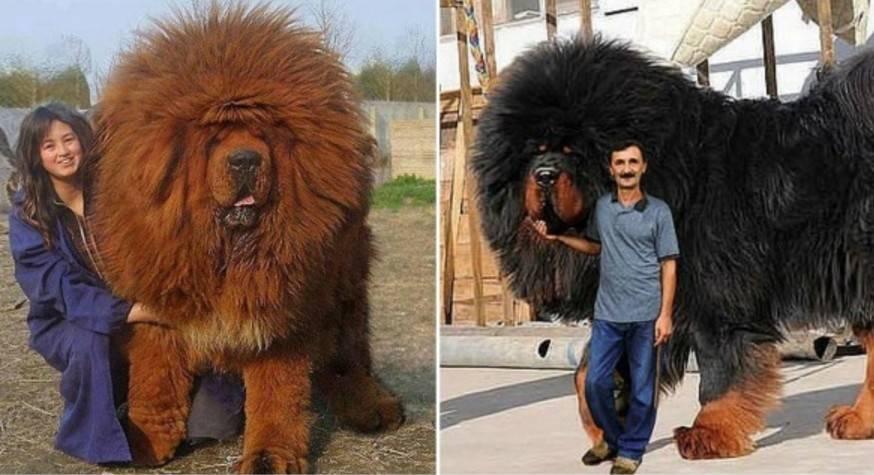 10 самых больших собак в мире: породы и цены за щенков