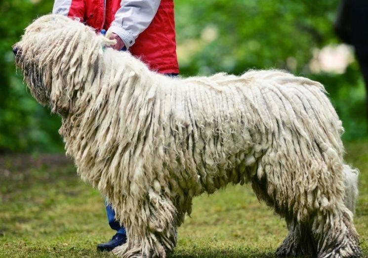 Как называются собаки-поводыри: какие породы подходят для слепых людей
