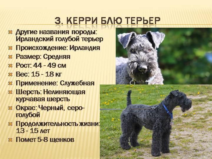 Керри блю терьер-собака с необычным окрасом