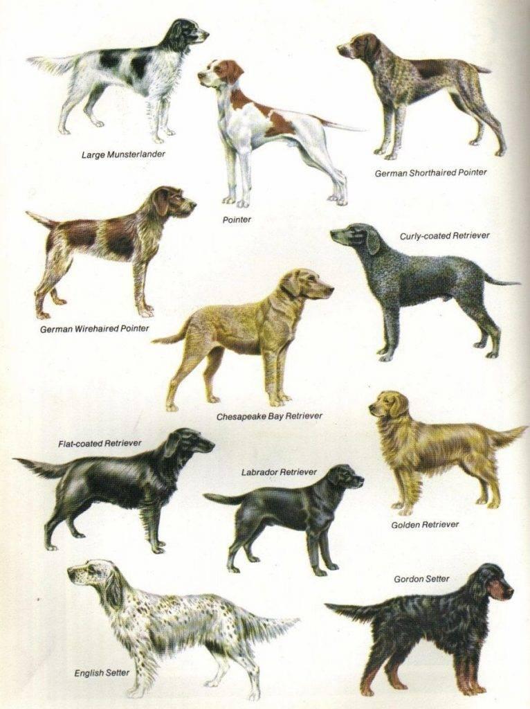 Самая древняя порода собак: краткое описание, фото, интересные факты из истории