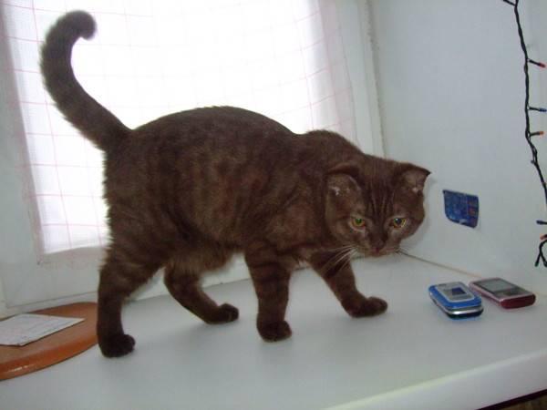 Курдюк у кота: нормы и признаки патологии