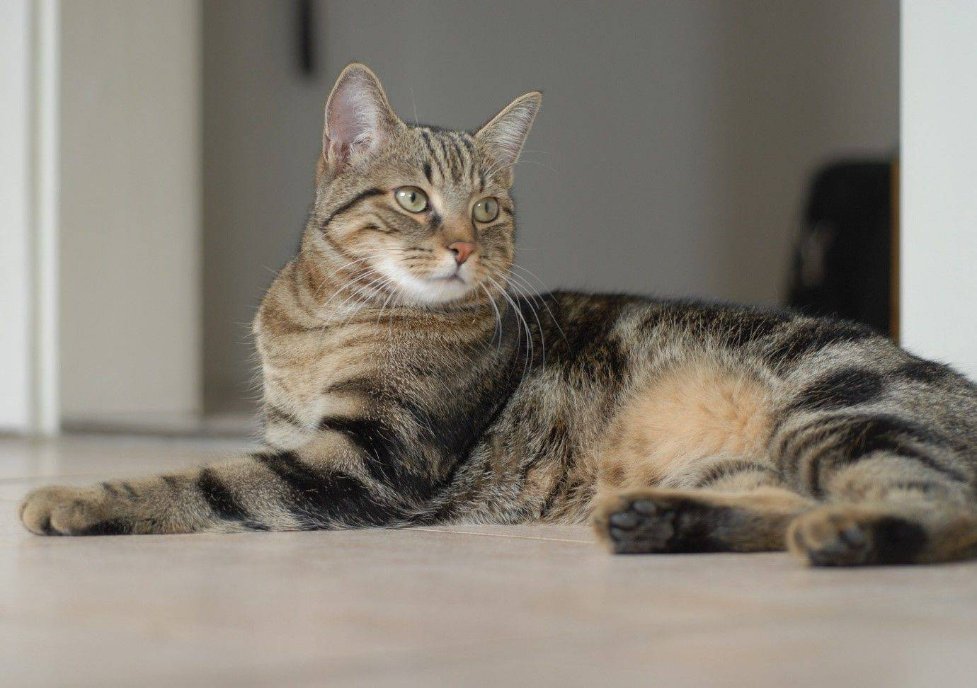 Американские породы кошек — кошки родом из сша
