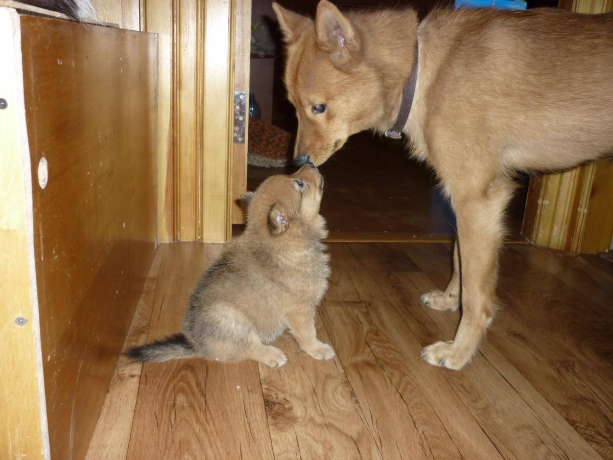Карело-финская лайка: описание породы и фото собаки