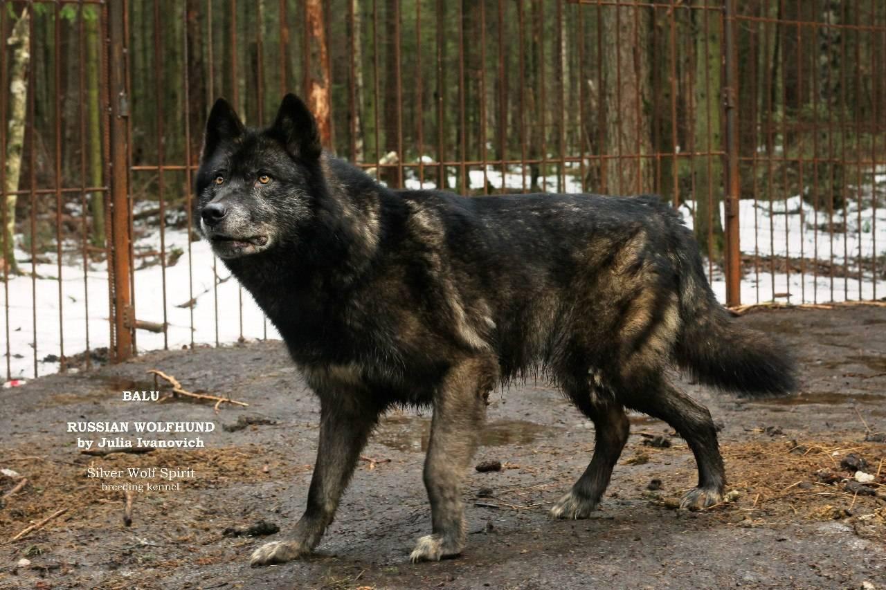 Вольфхунд (волкособ) — волкоподобная собака в домашних условиях