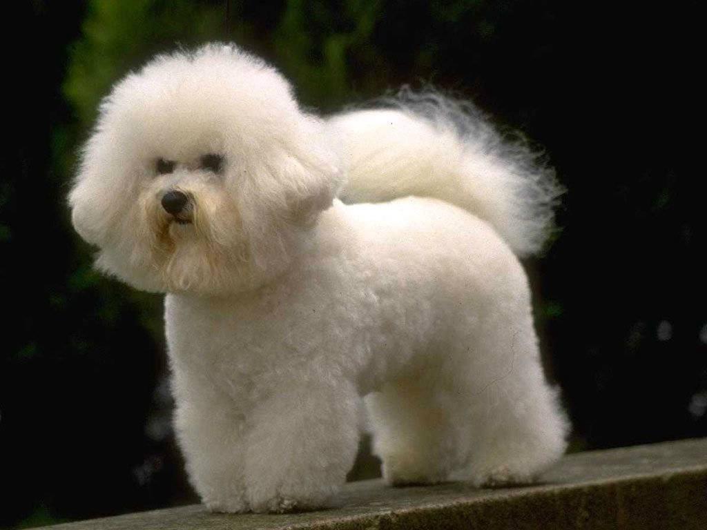 Выбираем щенка бишон фризе