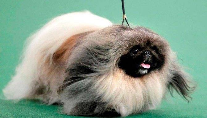 Порода собак пекинес: описание, содержание и разведение