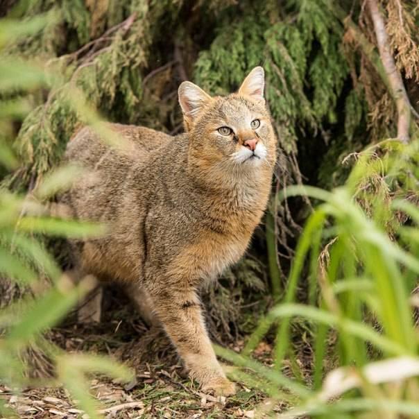 Дикий камышовый кот / болотная рысь