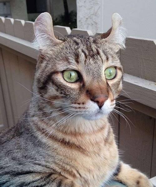 Страшные породы кошек - oozoo.ru
