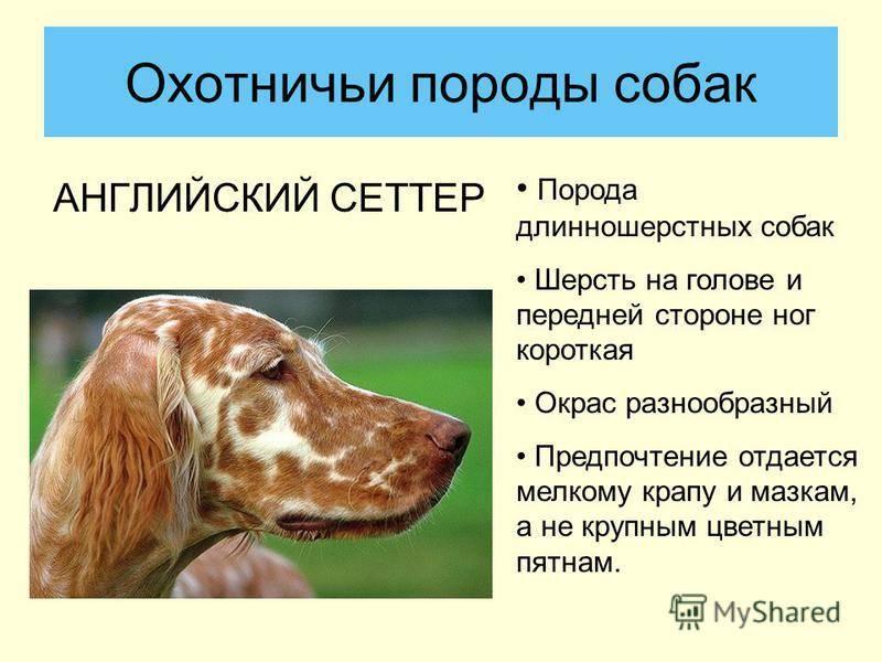 Собаки » породы » английский сеттер