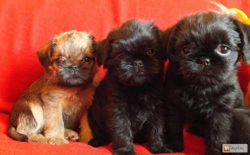 Брюссельский гриффон собака. описание, особенности, уход и цена породы   sobakagav.ru