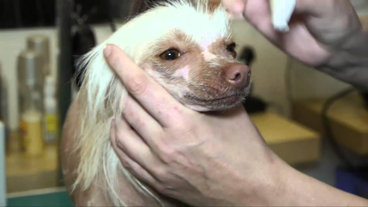 Китайская хохлатая: описание пуховой породы собак