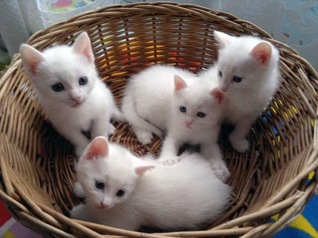 Анатолийская кошка — википедия. что такое анатолийская кошка