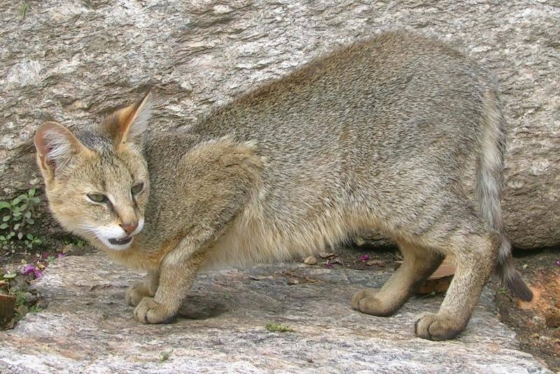Дикий лесной камышовый кот или хаус: описание, цена, фото диких камышовых котов, болотная рысь – это дикая камышовая кошка