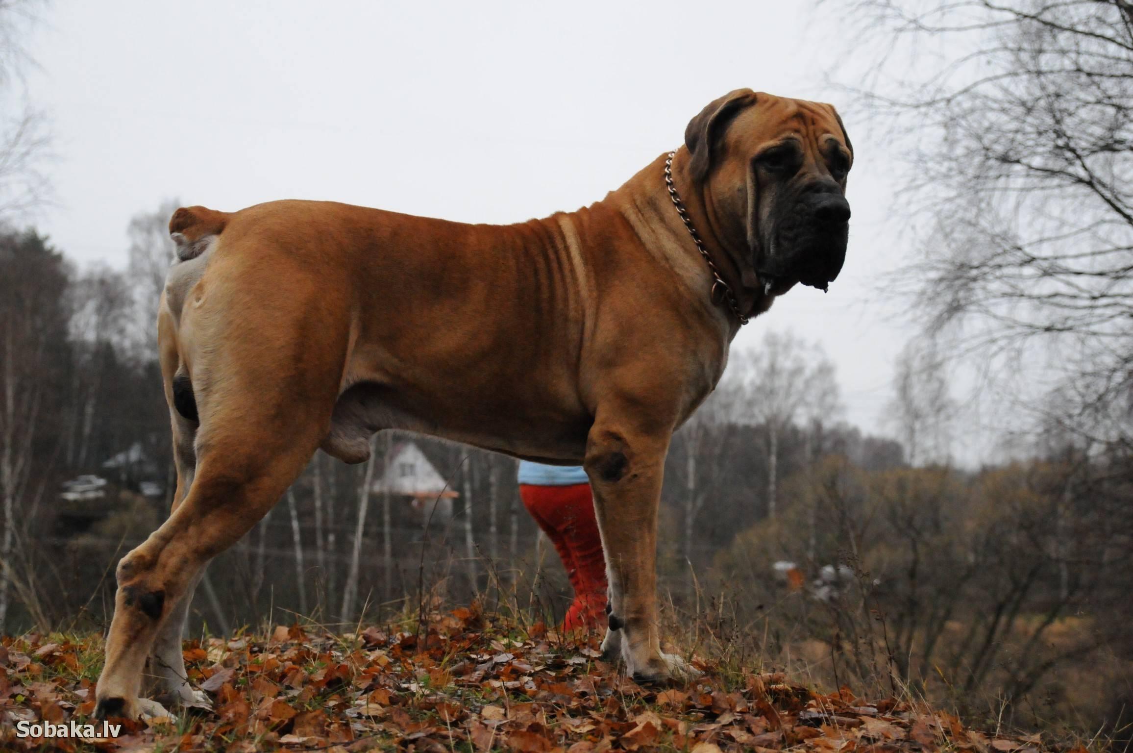 Южноафриканская собака бурбуль, описание, питание и характер