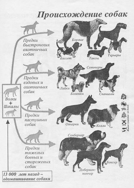 Самые древние породы собак в мире | интересный сайт