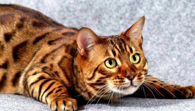 Бенгальская кошка: все о кошке, фото, описание породы, характер, цена