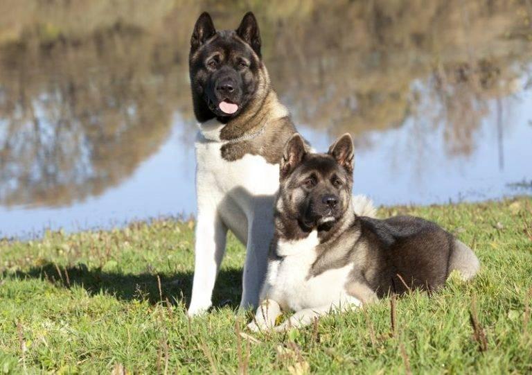 Американская акита: характеристика породы собак