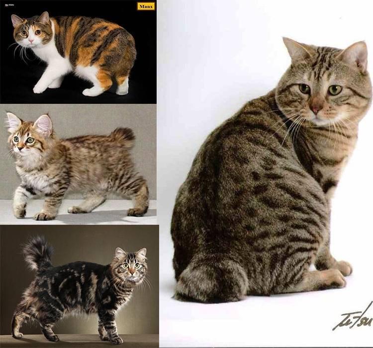 8 самых популярных пород кошек без хвоста