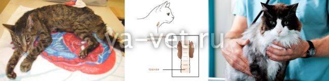 Симптомы и лечение гипертиреоза у кошек