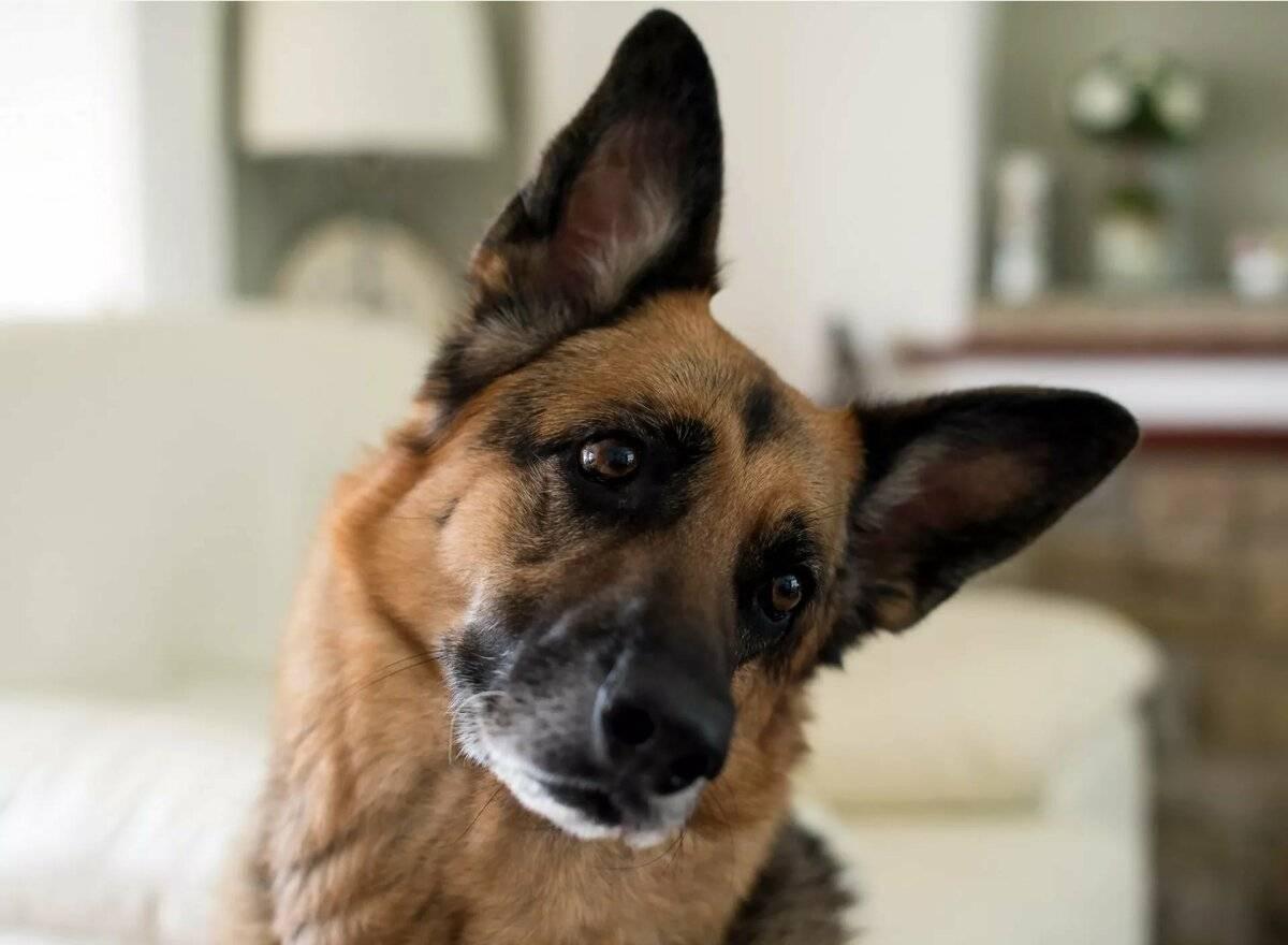 Почему собака наклоняет голову, когда к ней обращаются