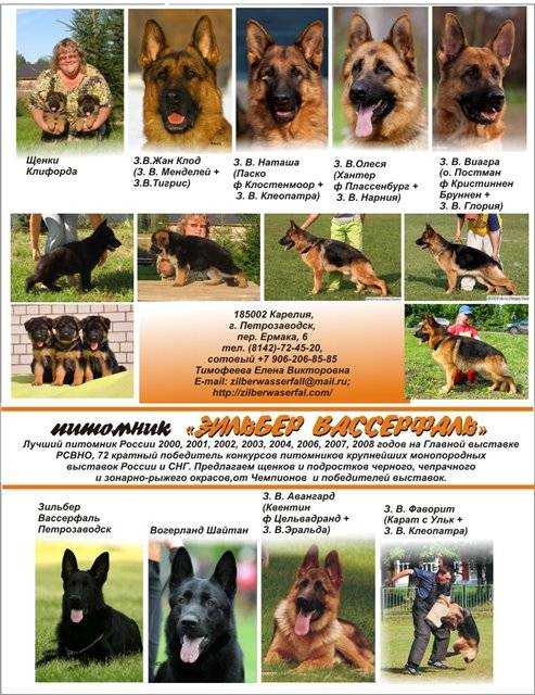 Немецкая очвчарка: всё о собаке, фото, щенки, дрессировка