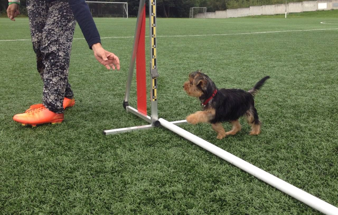 Аджилити для собак: кому, где, как?