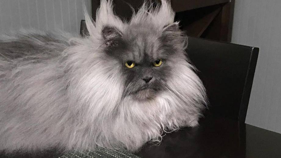 Пушистые кошки: породы, названия и характеристика