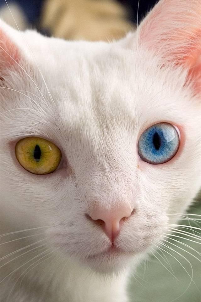 Разный цвет глаз у кошек. породы кошек с гетерохромией