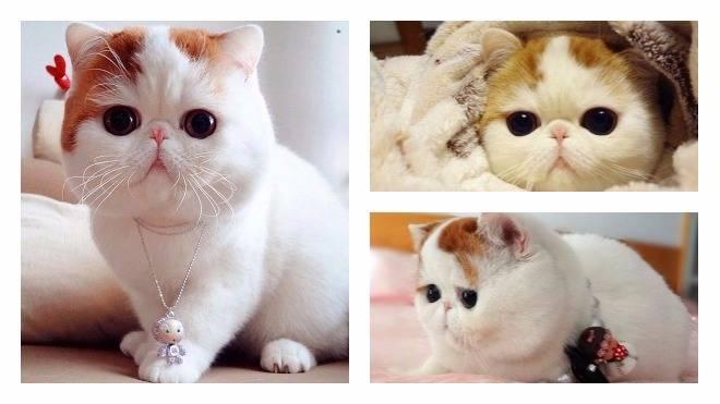 Порода кошек экзот : характер самого популярного кота в мире