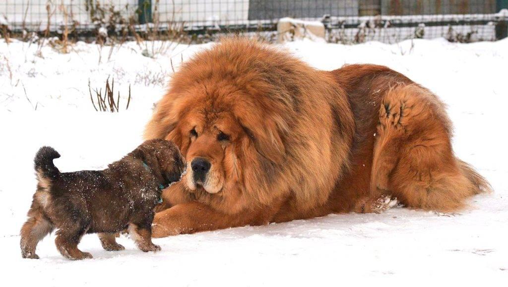 Самая большая собака в мире: топ 7
