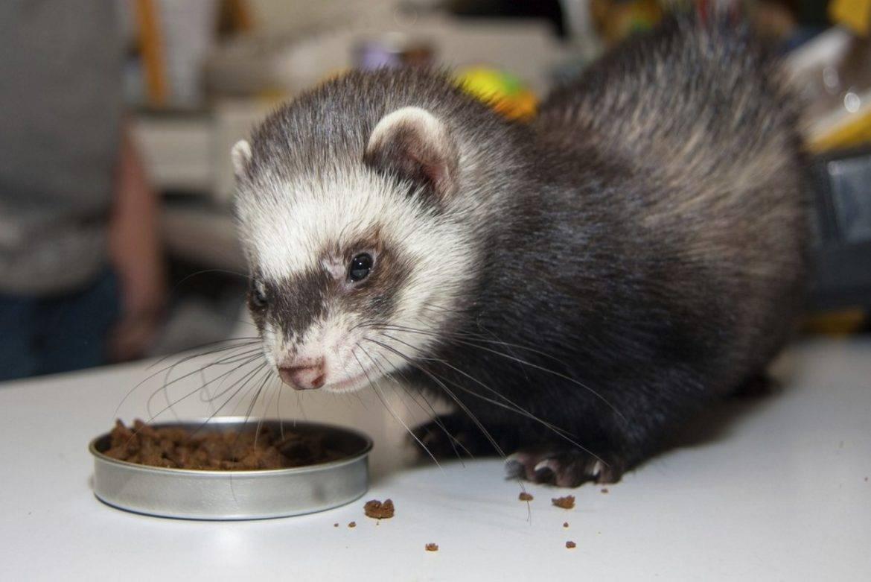 Чем питается хорек: список чем можно кормить хорька в домашних условиях и сколько раз давать пищу