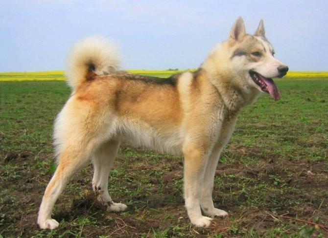 Восточно-сибирская лайка: охотничьи качества и описание породы