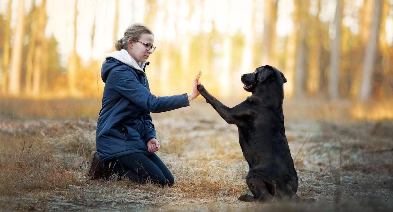 Воспитание щенка лабрадора: как приучить ретривера к туалету и правильно дрессировать в домашних условиях