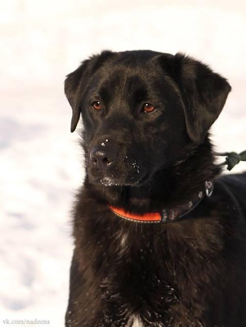 Разновидности и метисы ротвейлера. сравнение с другими породами собак по качествам