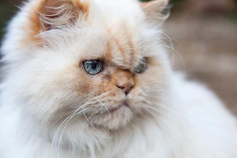 Гималайская кошка: фото, описание, характер, содержание, отзывы