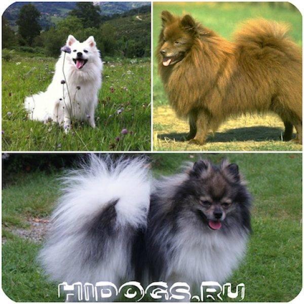 Как выбрать шпица медвежьего и лисьего типа, и какой пол щенка померанского шпица лучше: мальчик или девочка?