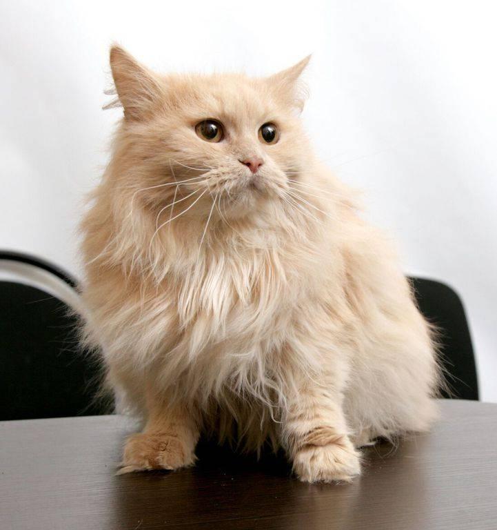 Рыжий британец: особенности и генетика редкого красного окраса шерсти кошек и его вариаций
