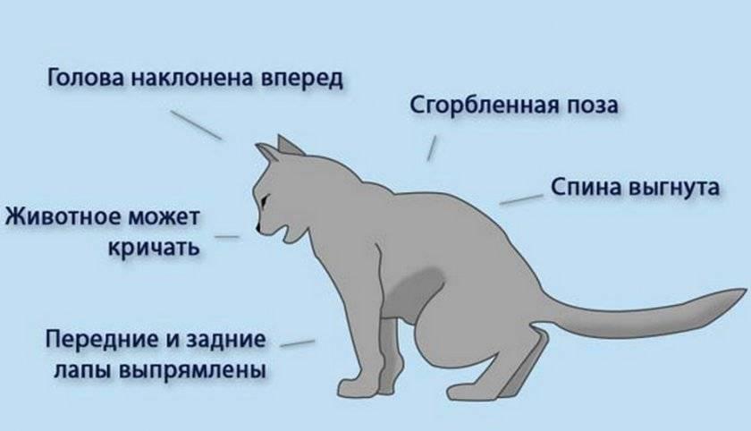 Недержание мочи у кошек: причины, лечение и профилактика