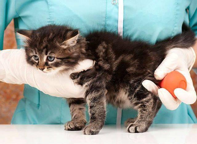 Слабительное для кошек — обзор хороших средст, отзывы