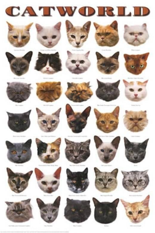 Как определить породу кошки, руководствуясь только внешними признаками