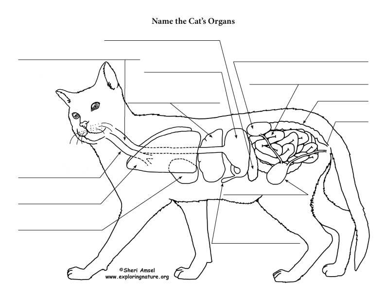 Описание строения внутренних органов кошки и общей анатомии домашнего животного