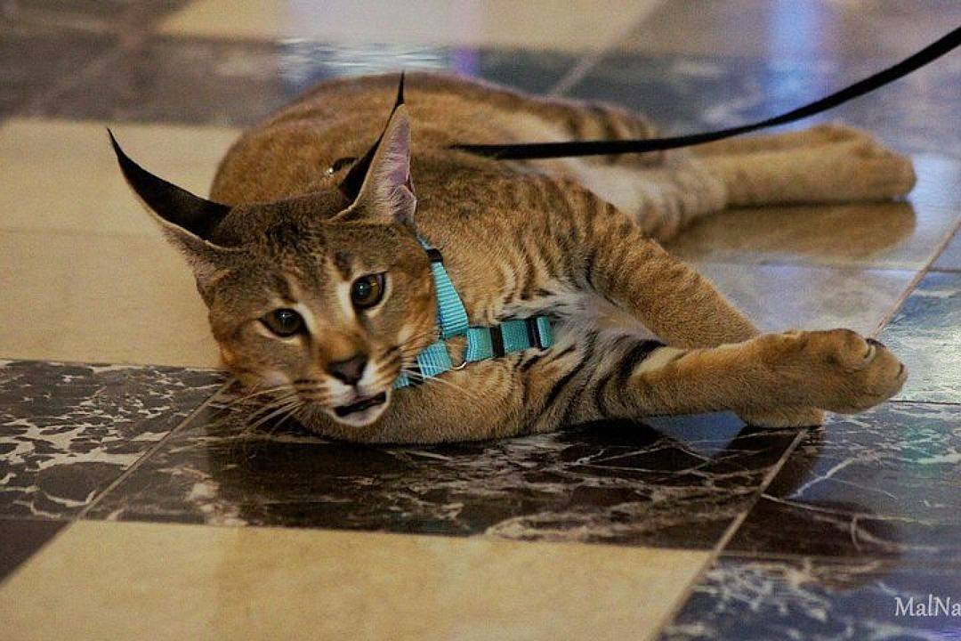 Десять самых красивых пород кошек
