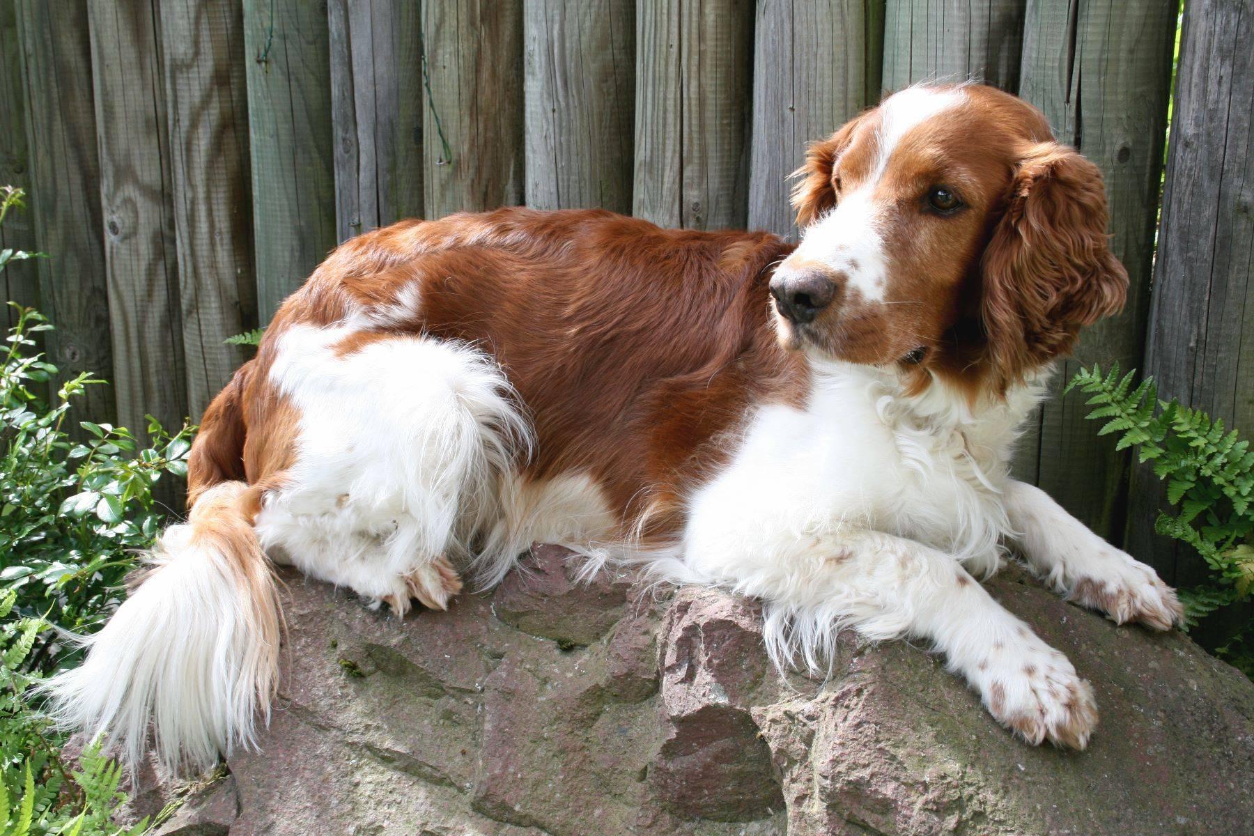 Спаниель: все об этой породе собак от а до я