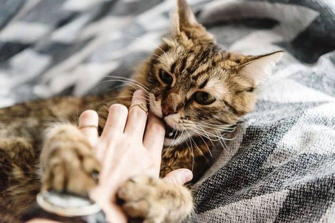 Как кота отучить кусаться и кидаться? причины и следствия