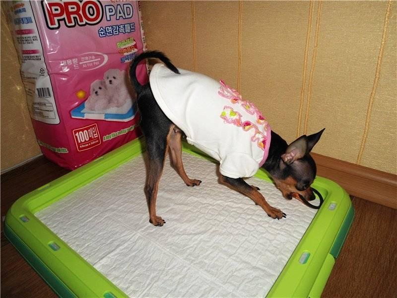 Быстрое приучение щенков породы йоркширский терьер ходить в туалет на пеленку