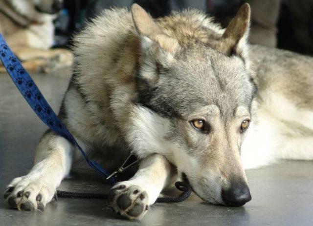 Волкособ: описание, фото и характеристика породы (+видео)