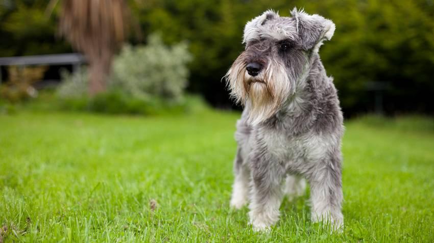 Цвергшнауцер (69 фото): описание породы, плюсы и минусы мини-собак. как выбрать щенка? сколько живут собаки? отзывы владельцев