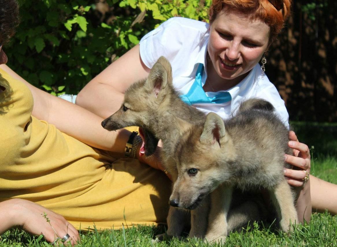 Волкособ — описание породы и характер собаки