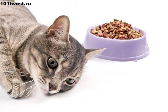 Что делать, если кошку рвет после еды непереваренной пищей