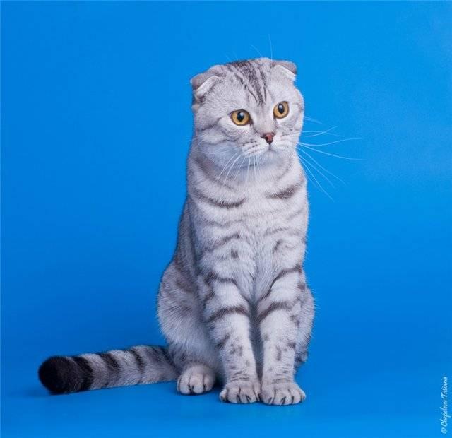 Порода котёнка из рекламы «вискас»